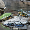 Turtles sunning themselves at Hawaii Hilton