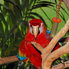 Scarlet Macaw at Hilton Hawaiian Village